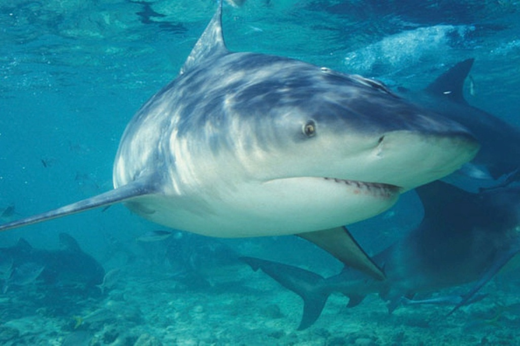 bull-shark-pic-getty-images-232275602-185174